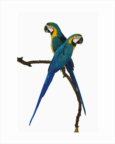 Blue-and-Gold Macaws by Corbis