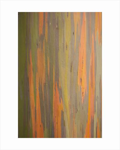 Rainbow Eucalyptus Tree Bark by Corbis