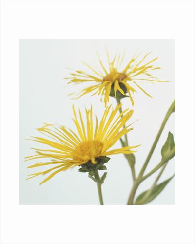 Elecampanes Flowers by Corbis