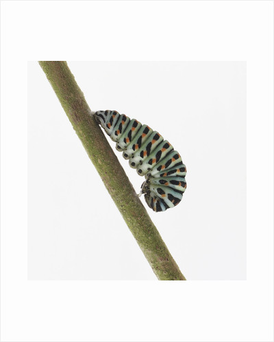 Caterpillar on Twig by Corbis