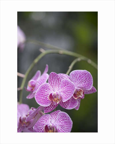 Rare, beautiful orchids bloom in a Florida garden by Corbis