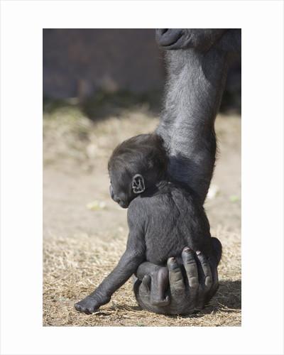 Baby Gorilla Sitting on Mother's Hand by Corbis
