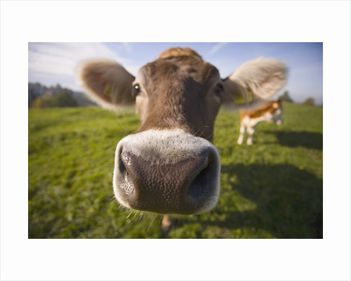Curious Cow by Corbis