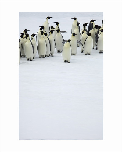 Group of Emperor Penguins Standing on Ice by Corbis