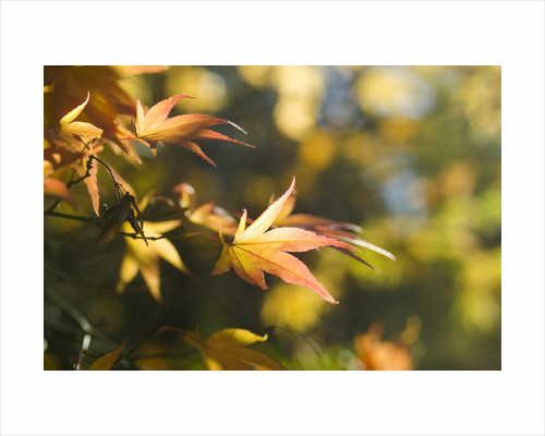 Japanese Maple Leaves in Autumn by Corbis