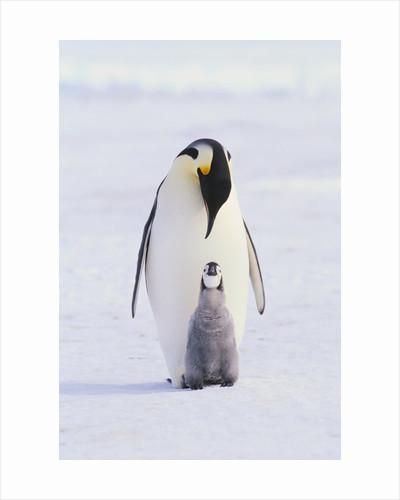 Emperor Penguin and Baby by Corbis