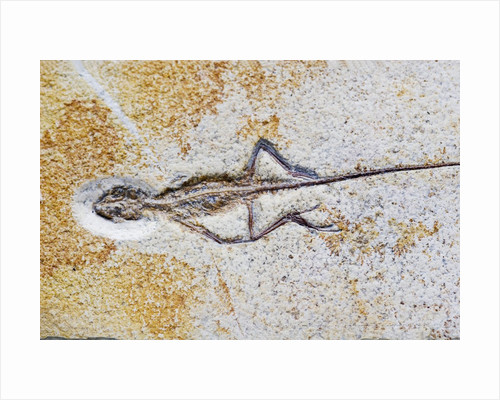 Lizard Fossil from Solnhofen Limestone Formation by Corbis