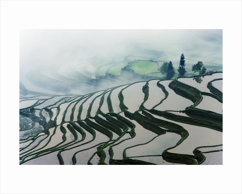 Morning Fog Above Rice Fields by Corbis