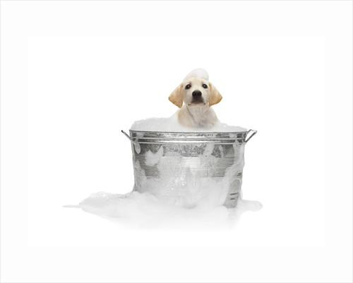 Puppy Taking Bath by Corbis