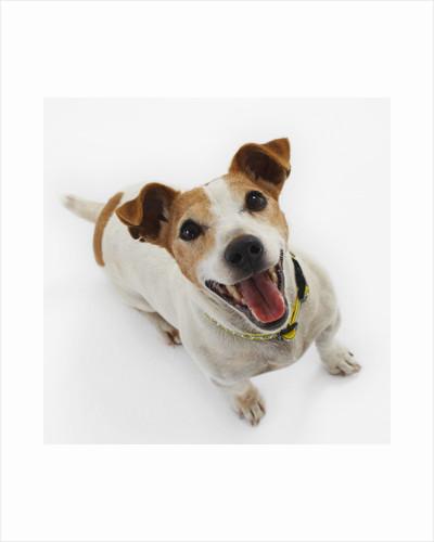 Jack Russell Terrier Panting by Corbis