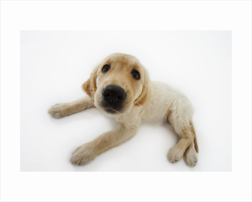 Golden Retriever Puppy Lying Down by Corbis