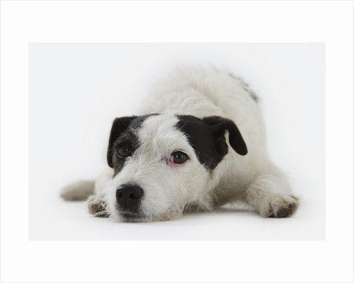 Jack Russell Terrier Lying Down by Corbis