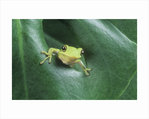 Frog Peeking Out From Leaf by Corbis