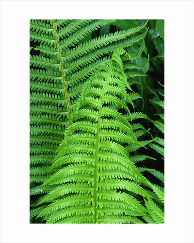 Fern Leaves by Corbis