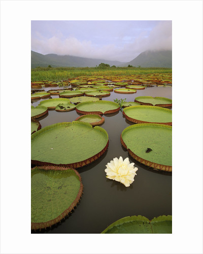 Water Lilies on the Pantanal Wetlands by Corbis
