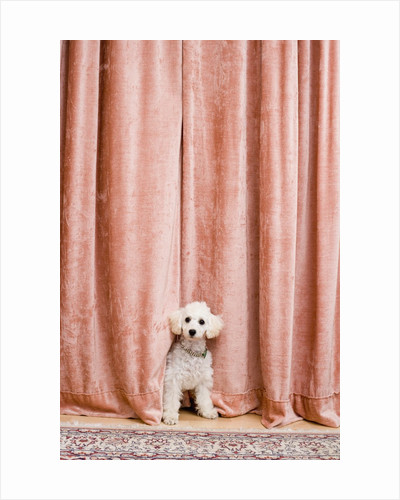 Poodle Looking from Behind Curtain by Corbis