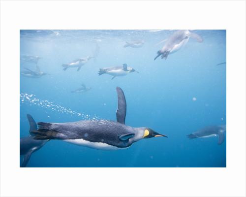 King Penguins Underwater by Corbis
