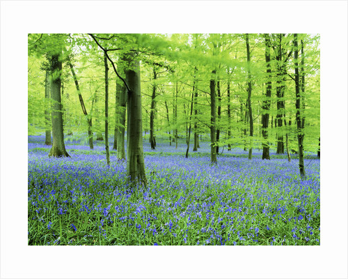 Forest Floor of Bluebells by Corbis