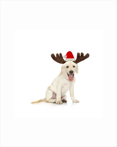 Lab Puppy Wearing Antlers by Corbis