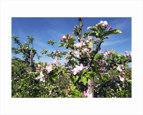 Blossoming Apple Trees in Orchard by Corbis