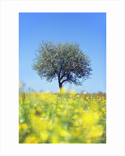 Blossoming Apple Tree in Meadow by Corbis
