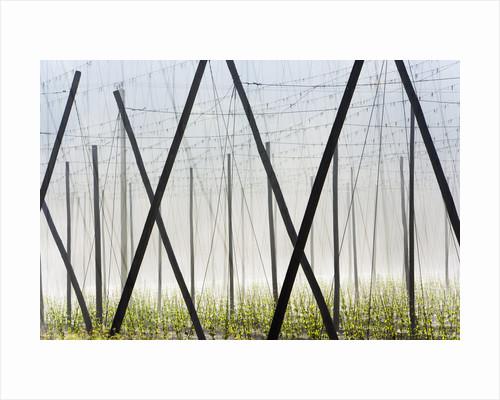 Hop Field by Corbis