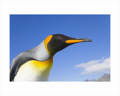 King Penguin by Corbis