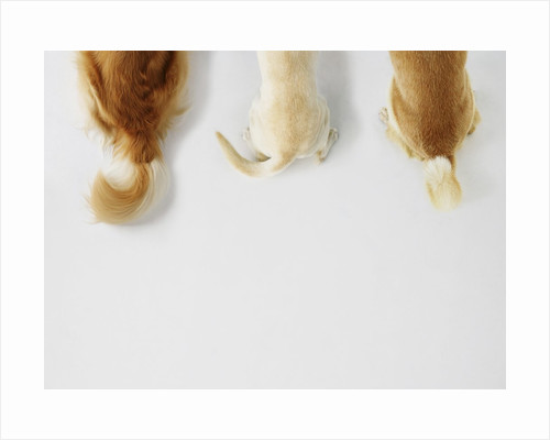 Dogs Wagging Tails by Corbis