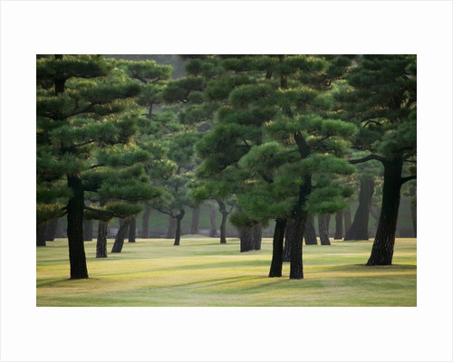 Pine Trees in Garden by Corbis