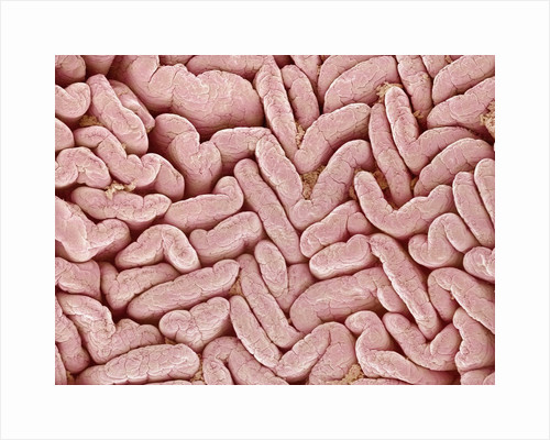 Duodenum Villi from a Rat by Corbis