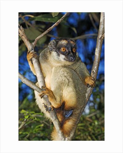 Common Brown Lemur by Corbis
