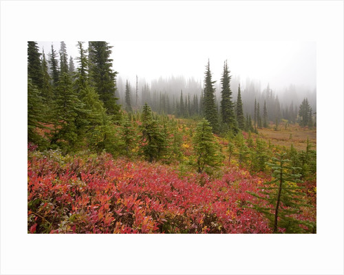 Fall Colors and Evergreen Trees in the Fog by Corbis
