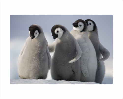 Emperor Penguins in Antarctica by Corbis
