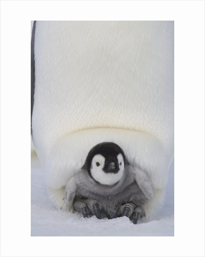 Emperor Penguin Chick on Mother's Feet by Corbis