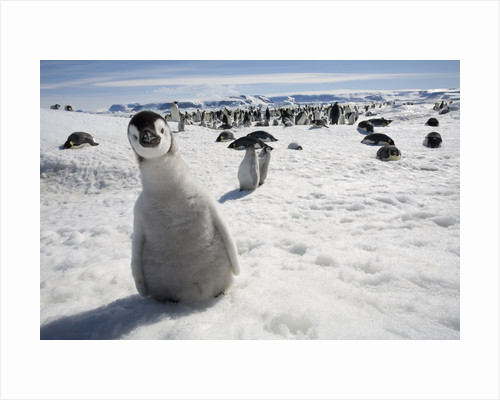 Emperor Penguin Chick in Antarctica by Corbis