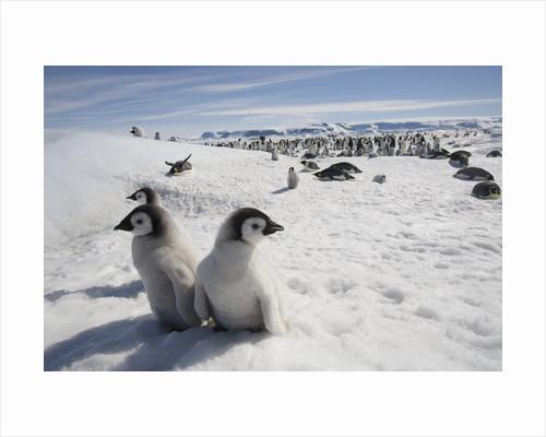 Emperor Penguin Chicks in Antarctica by Corbis