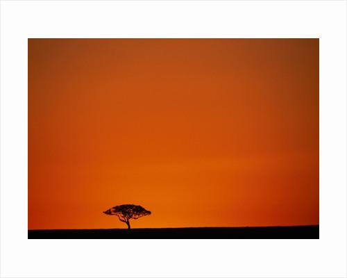 Lone Acacia Tree at Sunrise by Corbis
