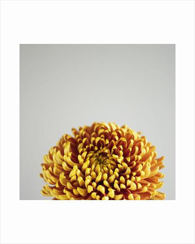Orange Flower by Corbis