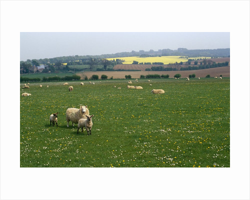 Sheep in Meadow in England by Corbis