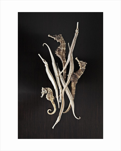 Dried Seahorses and Pipefish by Corbis