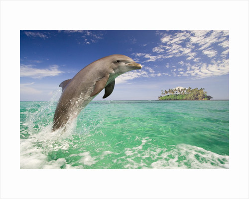 Bottlenosed Dolphin Leaping in Caribbean Sea by Corbis