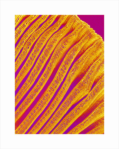Freshwater Clam Gills by Corbis