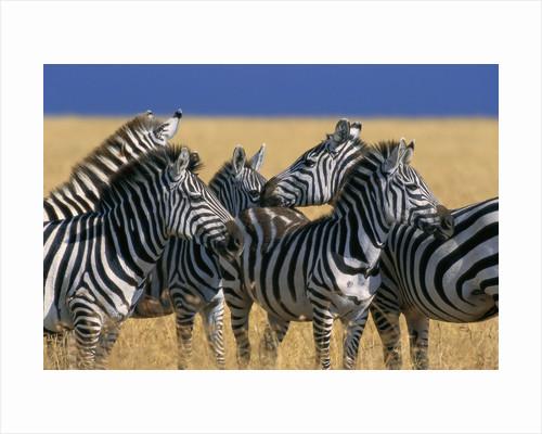 Herd of Plains Zebras by Corbis