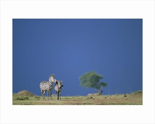 Plains Zebras in Savanna by Corbis