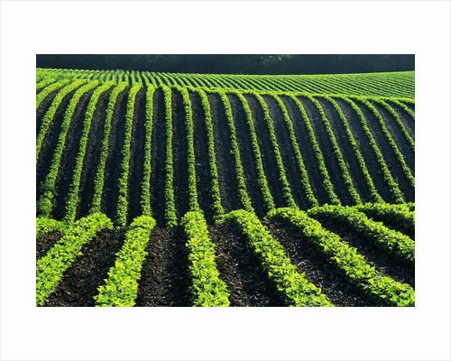Bean Field by Corbis