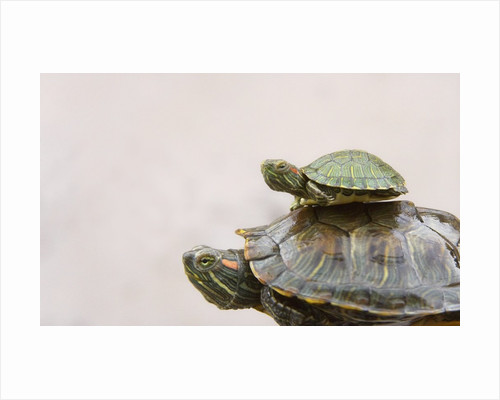 Baby Turtle Riding on Mother's Back by Corbis