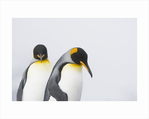 King Penguins by Corbis