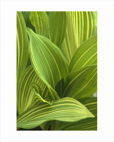 Close-up of Variegated Leaves by Corbis