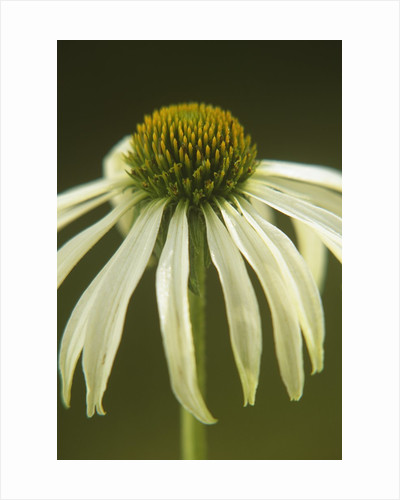White Swan Coneflower by Corbis