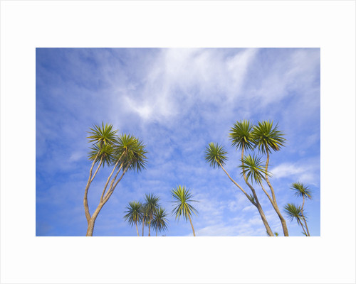 Cabbage Trees, Crowns Against Sky by Corbis